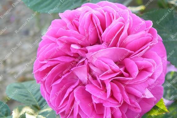 Rosier buisson Souvenir de Madame de Corval