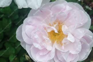 Shrub rose Stanwell Perpetual