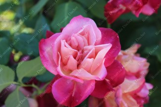 Shrub rose General Gallieni