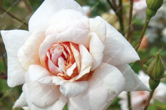 Shrub rose Perle d'Or