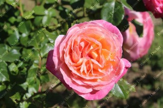 Shrub rose creation Souvenir de Lucien Massad ®