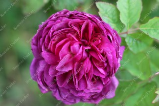Shrub rose Indigo
