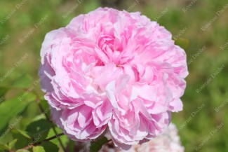 Shrub rose Jacques Cartier
