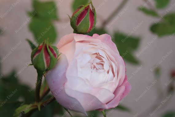 Shrub rose Madame Pierre Oger