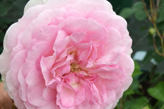Shrub rose Pink Prosperity