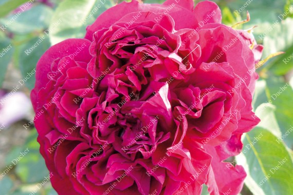 Shrub rose Charles Lefebvre