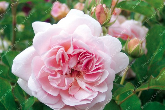Shrub rose Felicia