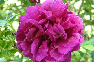 Shrub rose Hansa