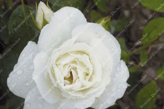 Shrub rose Iceberg