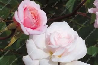 Shrub rose Mademoiselle Cecile Brunner