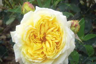 Shrub rose creation Nouchette ®