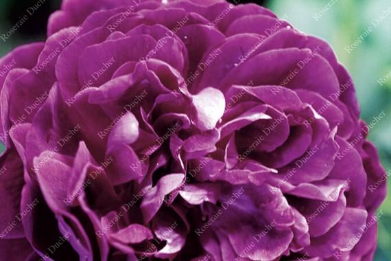 Rosier buisson Reine des Violettes