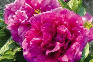 Rosier buisson Roseraie de l'Haÿ