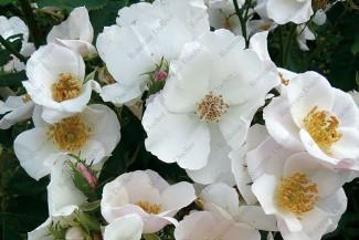 Shrub rose creation Sandrine David ®