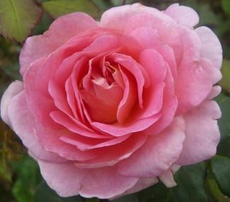 Shrub rose creation Simone de Vogue ®