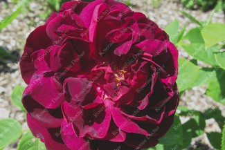 Shrub rose Vulcain