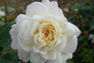 Shrub rose White Gruss an Aachen