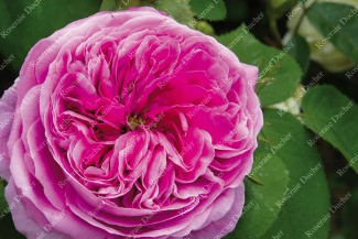 Shrub rose Yolande d'Aragon