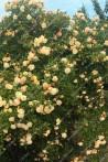 Climbing rose Ghislaine de Feligonde