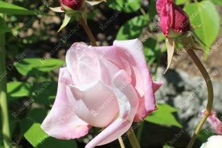 Climbing rose Lady Waterlow