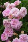 Climbing rose creation Pink Ghislaine de Feligonde ®