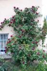 Climbing rose Souvenir du Docteur Jamain