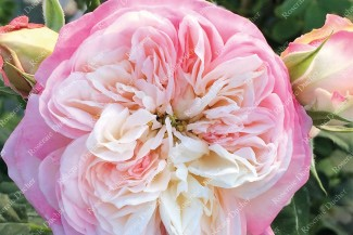 Shrub rose creation Josiane Pierre-Bissey ®