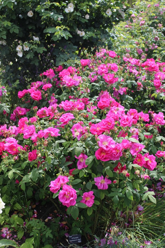 Rosier buisson Rose de Provins