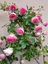 Climbing rose Pierre de Ronsard ®