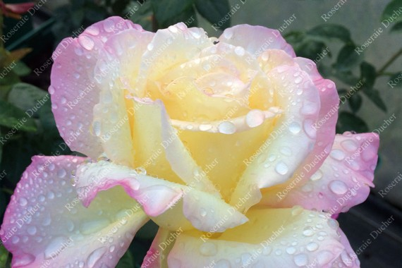 Shrub rose Madame Antoine Meilland syn. Peace