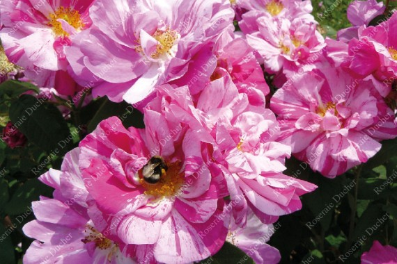 Rosier buisson Rosa mundi syn Rosa gallica versicolor