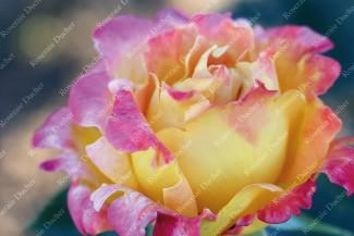 Climbing rose Sutter's Gold