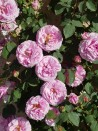 Climbing rose creation Florence Ducher ®