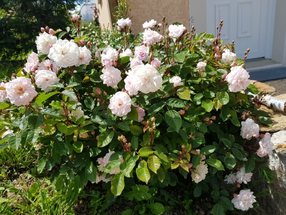 Shrub rose Marie Pavie