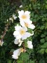 Shrub rose Rosa Serica Pteracantha