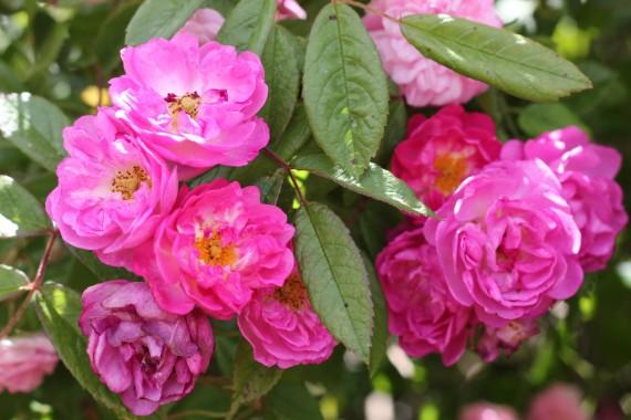 Climbing rose Rose de Monplaisir ®