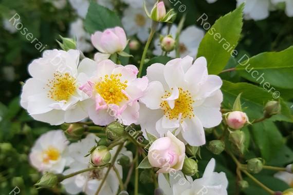 Climbing rose April®