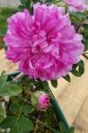 Shrub rose Rosa Roxburghii Plena /  chesnut rose