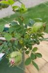 Rosier buisson Rosa Roxburghii Plena / rosier châtaigne