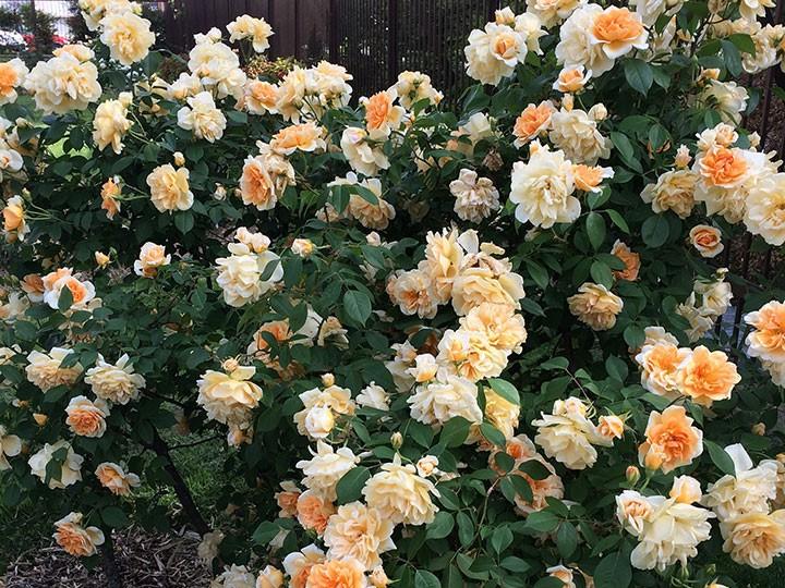 Les rosiers pour climat chaud