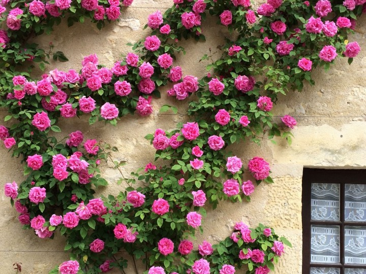 Climbing Roses in container