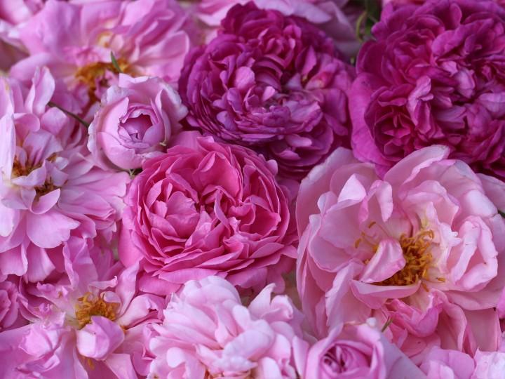 Roses de damas ( distillation, parfumerie, cuisine) .